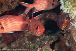 BD-100923-St-Johns-2100-Myripristis-murdjan-(Forskål.-1775)-[Pinecone-soldierfish.-Röd-soldatfisk].jpg